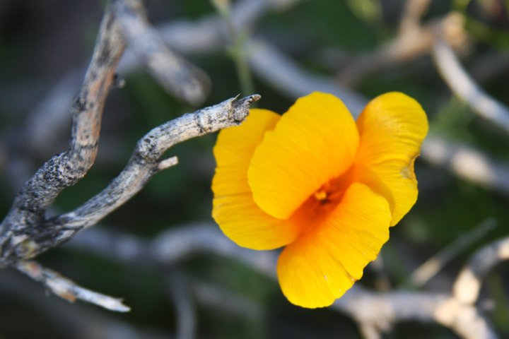 California poppies make their way up through the harsh and prickly desert floor to bask in the spring air