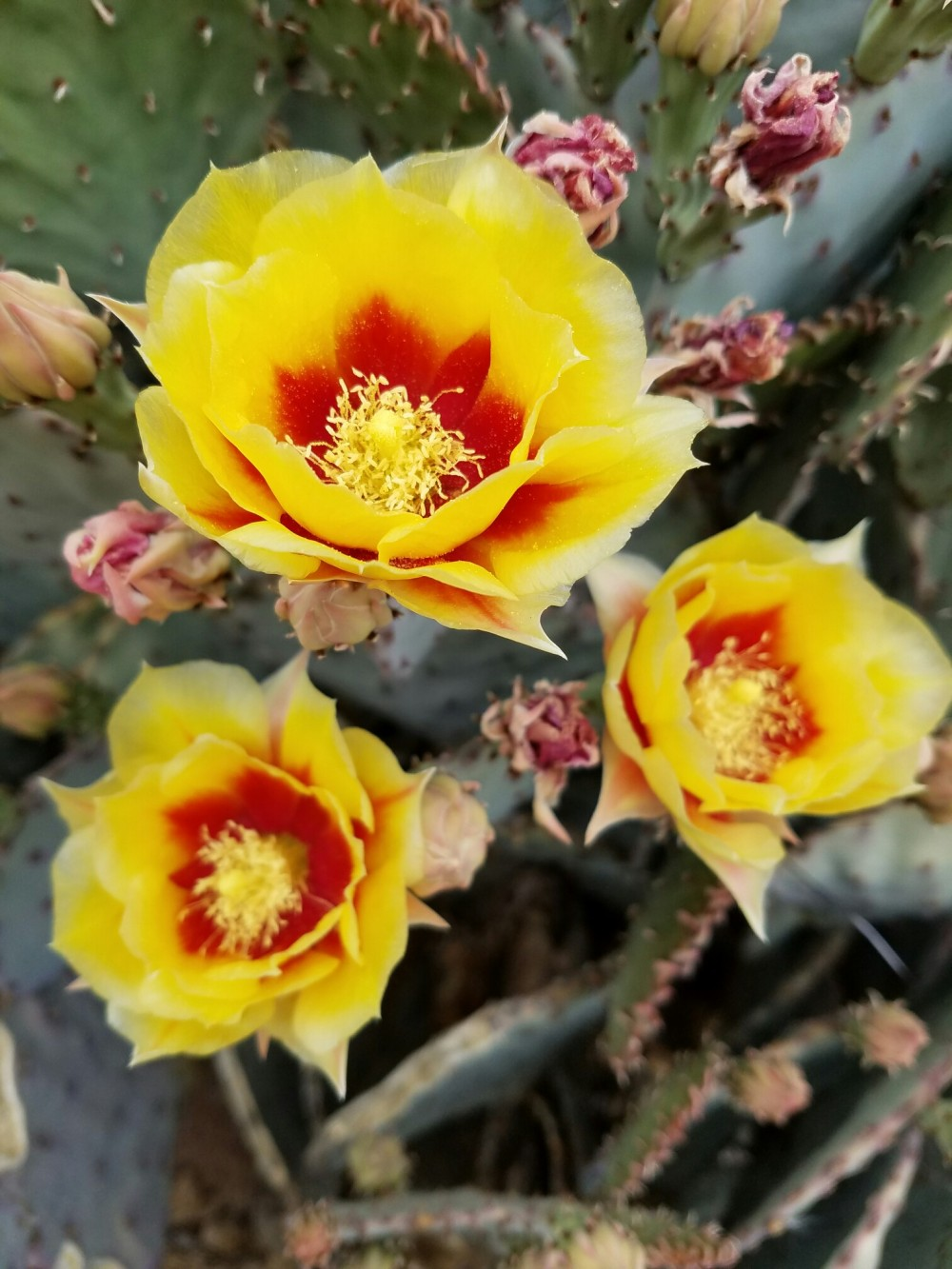 A purple prickly pear cactus shows off its spring fashion with bright yellow and red blooms